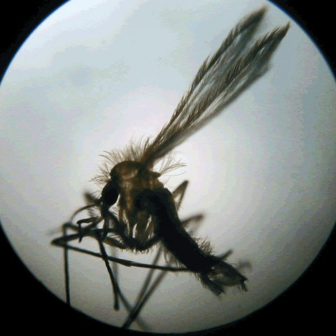 Kala-azar or visceral leishmaniasis, a neglected tropical disease (NTD) is transmitted by the sandfly. Photo: AFPMB. CC BY-NC-ND 2.0